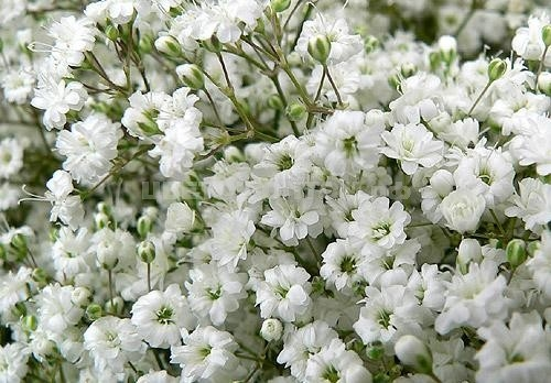 Гипсофила.  Другие цветы.  Самые популярные сорта.