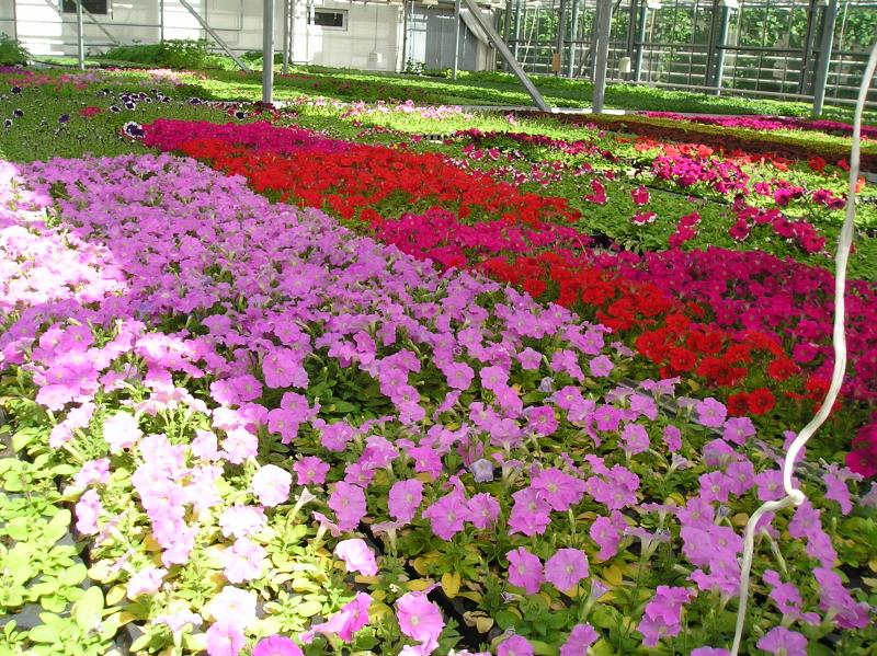 Рассада цветов совхоз московский цены 44