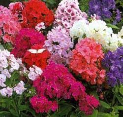 Каталог цветы для дачи многолетники фото