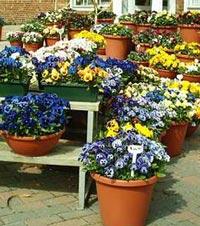 рассада однолетних цветов и овощей от производителя