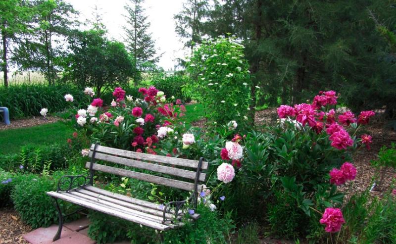 Пионы в дизайне сада.